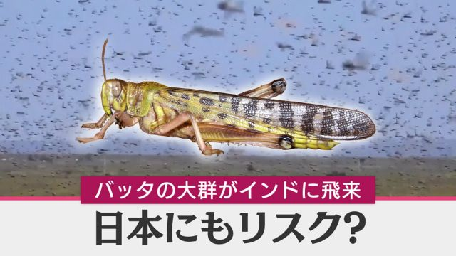バッタ大量発生 2020 日本への影響